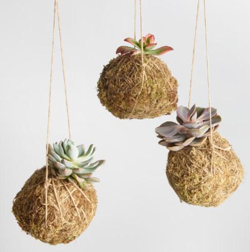 Live Kokedama Hanging Succulents