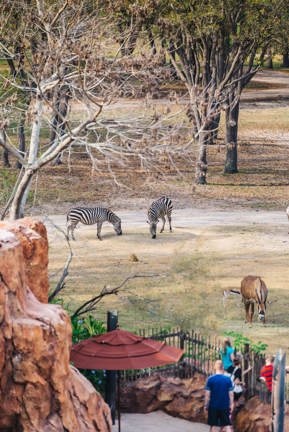 The Disney Conservation fund (DCF) helps protect zebras