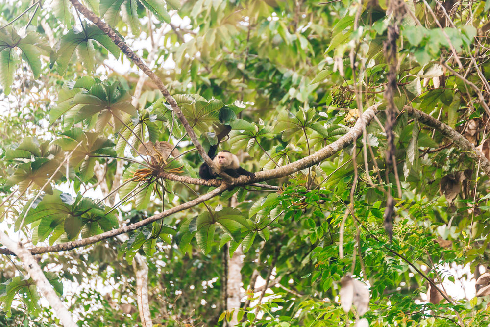 Little wild monkeys playing in the trees