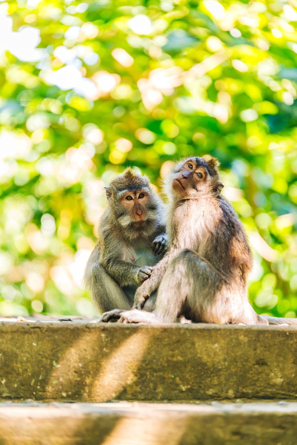 The monkeys of Ubud keeping each other clean
