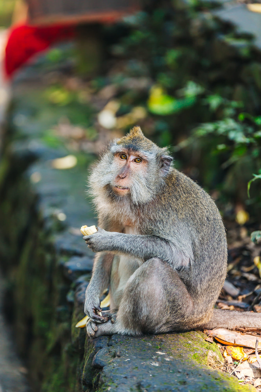 Shot the   Balinese monkeys   from afar with the   70-200mm lens