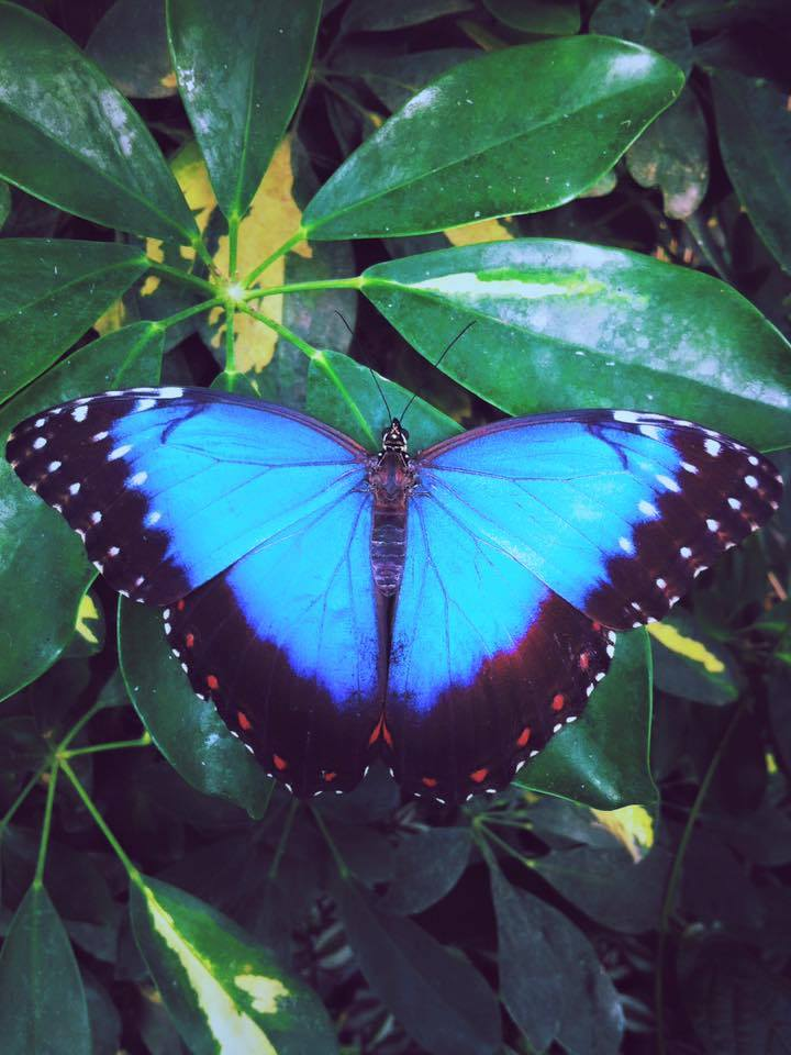 Protecting Wildlife and Conservation Research - This butterfly is one of many endangered species Hoja Nueva is working to protect. Through camera trapping species (a motion censored camera to track which wildlife are in an area), Hoja Nueva provides data to the government to help set regulation policies and see which species are in the most need of help. Hoja Nueva also purchases land to preserve as wild  habitat.