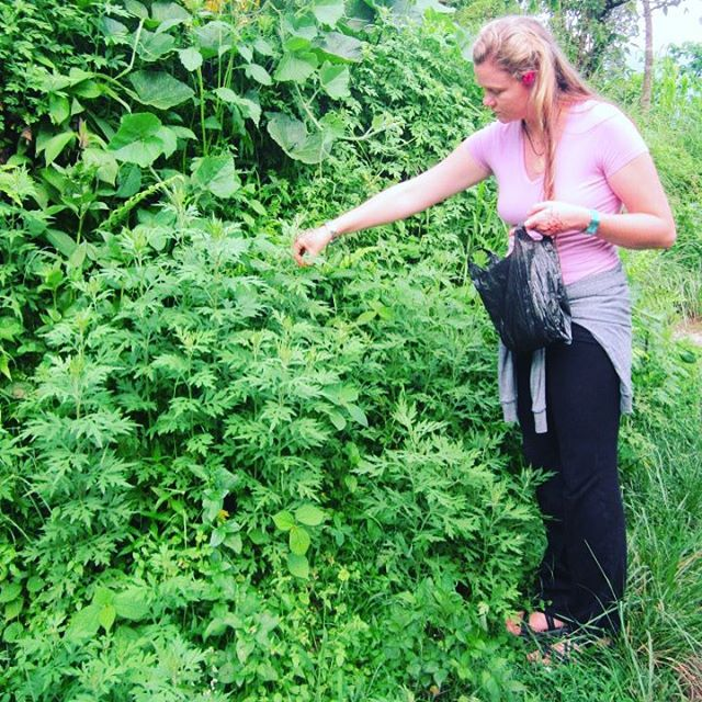 "This is @zendenyogini harvesting Artemesia from #Karmidanda back in 2012. Here in the west, we know it for its bitter aspects and volatile oils that make it a really useful plant to support digestion and relieve gas. In Nepal it's called tite pati and has many uses. Most memorable is the recommendation from their herbal folklore to ""sit over the heated plant"" in cases of diarrhea! Still haven't recommended that one … #PlantMedicine #Herbalism #HerbNerd #HerbalMedicine #Naturopathic #NatureMedicine #NaturopathicMedicine #TraditionalMedicine #Artemesia"