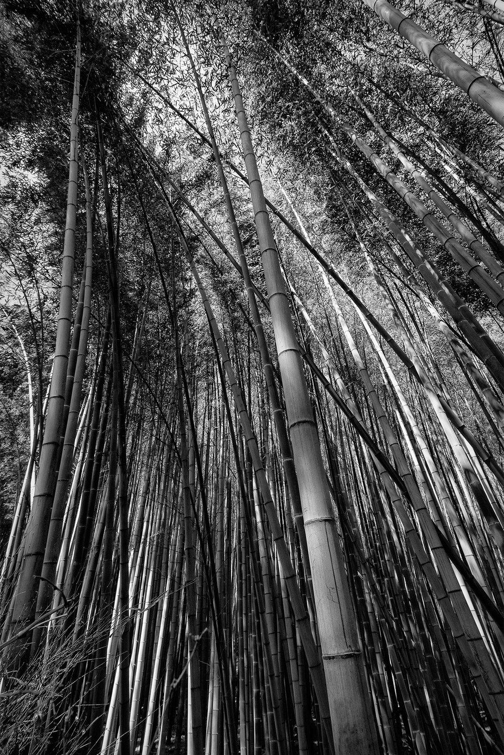 Arashiyama Grove
