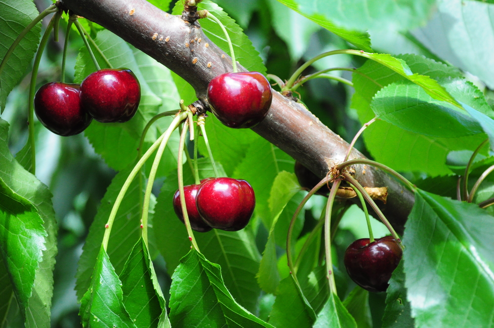 Cherry fruit on tree