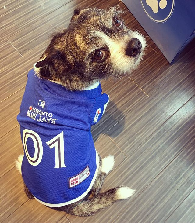 Neelix looking pretty fly in the new Toronto Blue Jays jersey! #vancouver #yaletown #vancity #vancitydogs #vancitydoggies #dogsofyaletown #dogsofvancouver #dogsofig #dailyhivevan #vancitybuzz #mlb #bluejays