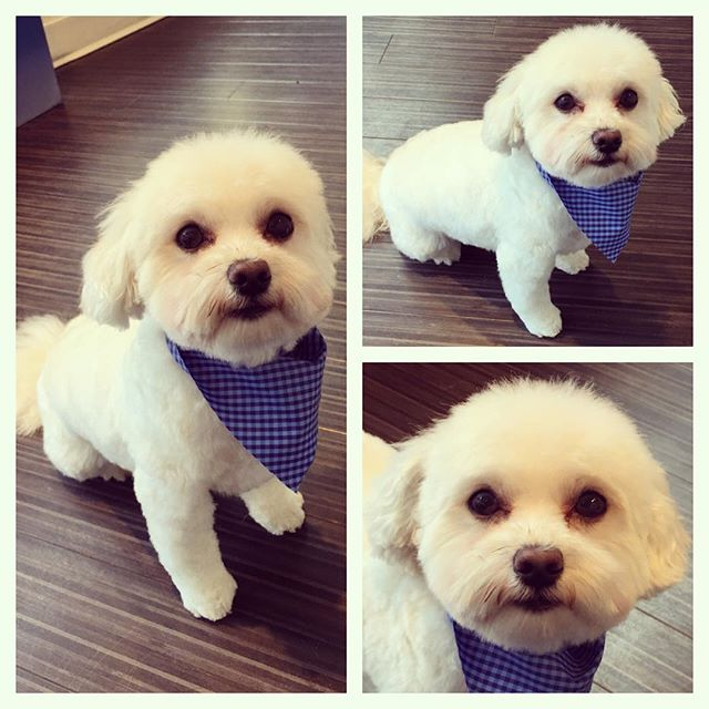 Charlie the Havanese/Maltese after his grooming today. Such a good boy! #Pawshified #vancouver #yaletown #vancity #vancitydogs #vancitydoggies #dogsofyaletown #dogsofvancouver #dogsofig #dailyhivevan #vancitybuzz #havanese #havaneseofinstagram #maltese #malteses #malteseofinstagram