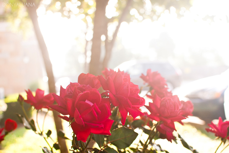 tuesday-roses1.jpg