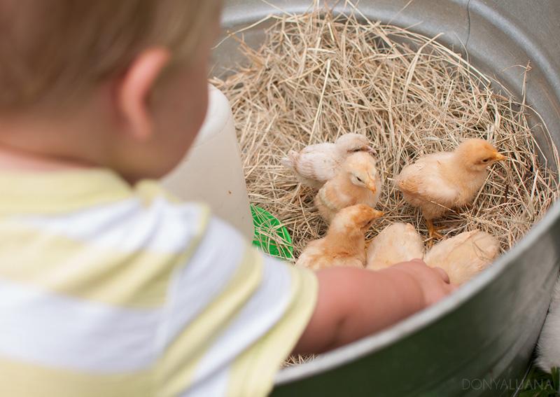 tuesday-baby-chicks1.jpg