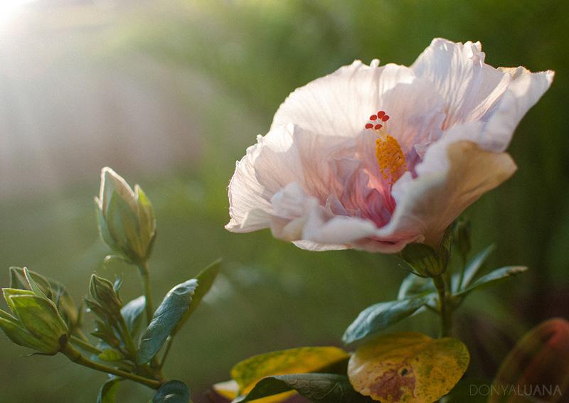 tuesday-hibiscus1.jpg