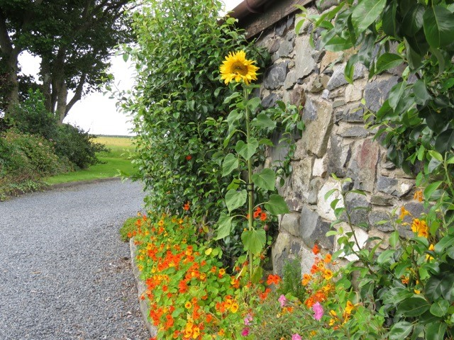 Photos from Moira Taylor of her Nevis All Energy sunflowers.