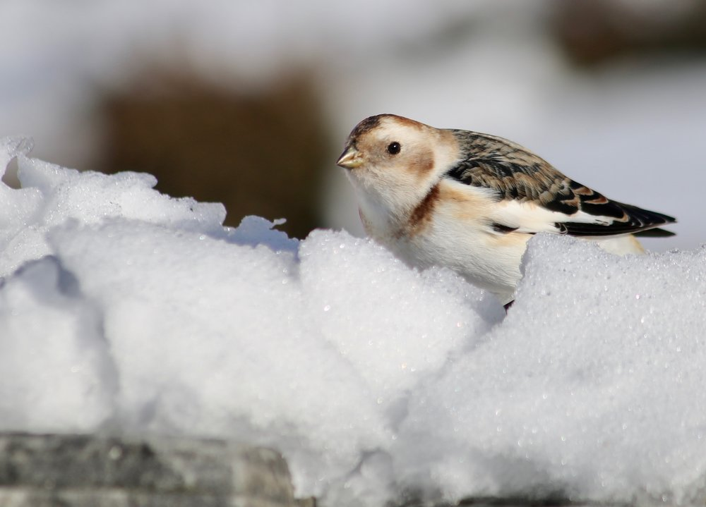 Snow Bunting in the Snow.jpg