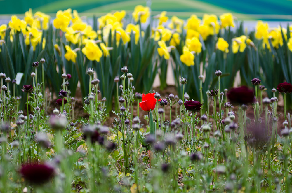 Tulip Festival-3.jpg