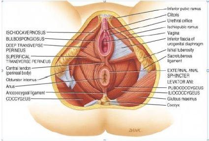 pelvic floor image 2.jpg