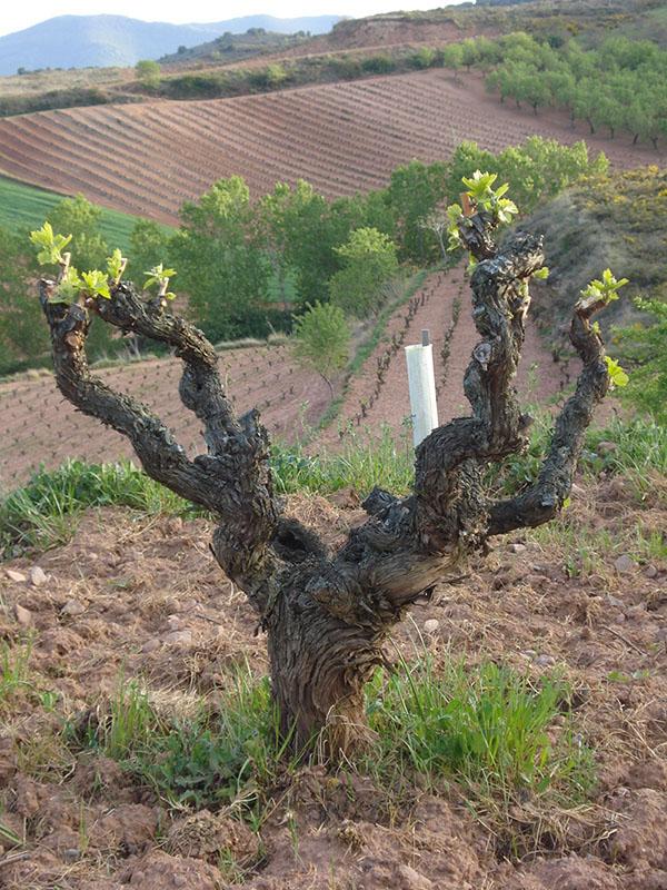 Viñedos de las Bodegas Juan Carlos Sancha en La Rioja