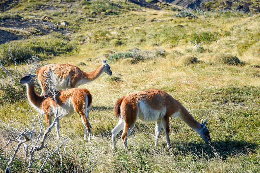 The guanaco (Lama guanicoe) is a camelid native to South America that stands between 1.0 and 1.2 m (3 ft 3 in and 3 ft 11 in) at the shoulder and weighs about 90 kg (200 lb).