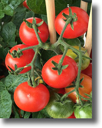 Tomato_Plant1FR.jpg