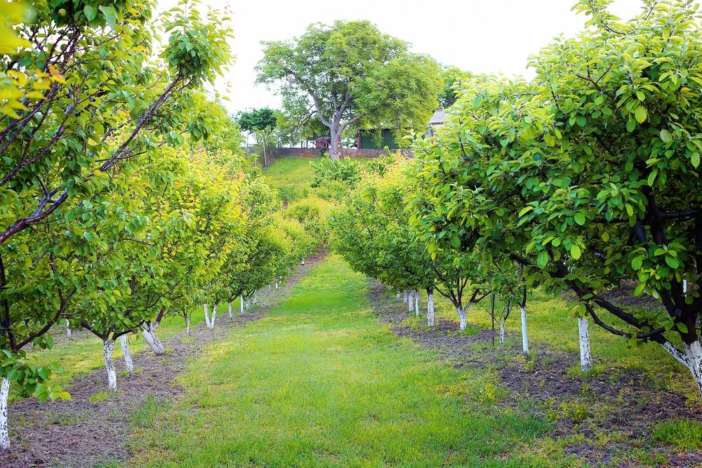apricot-orchard-261479.jpg