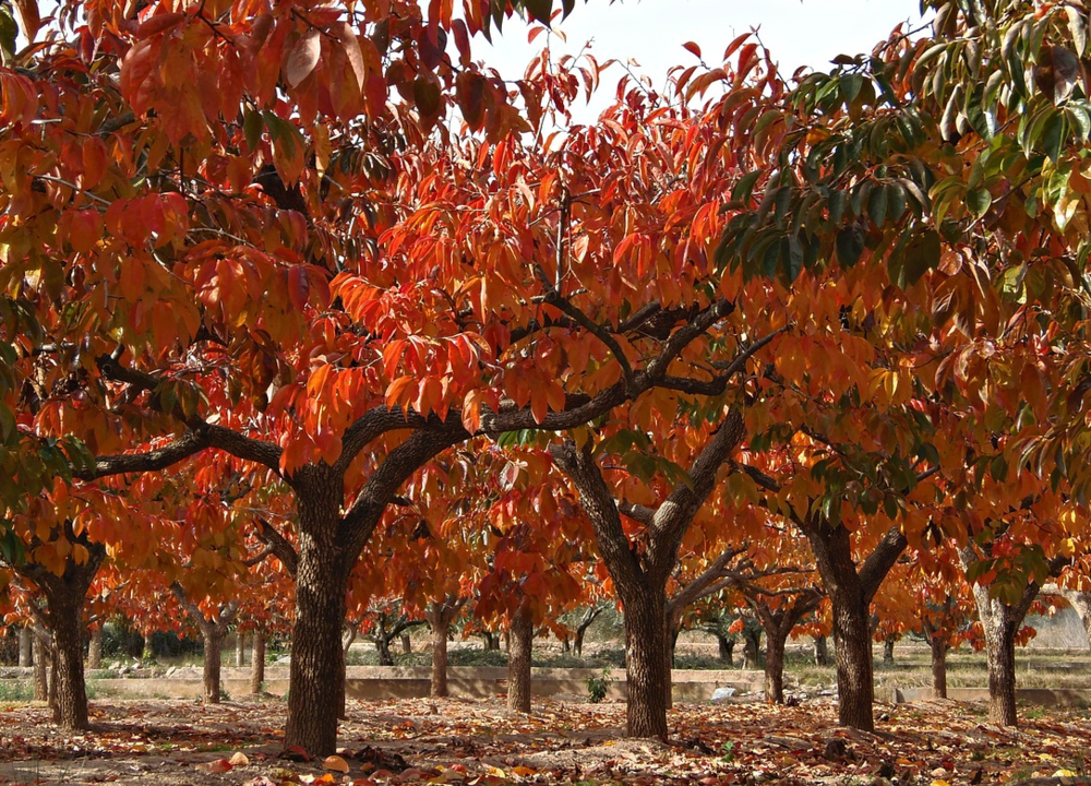 Arborists who want to jump-start new trees, or save favorite shade/fruit trees from further demise.
