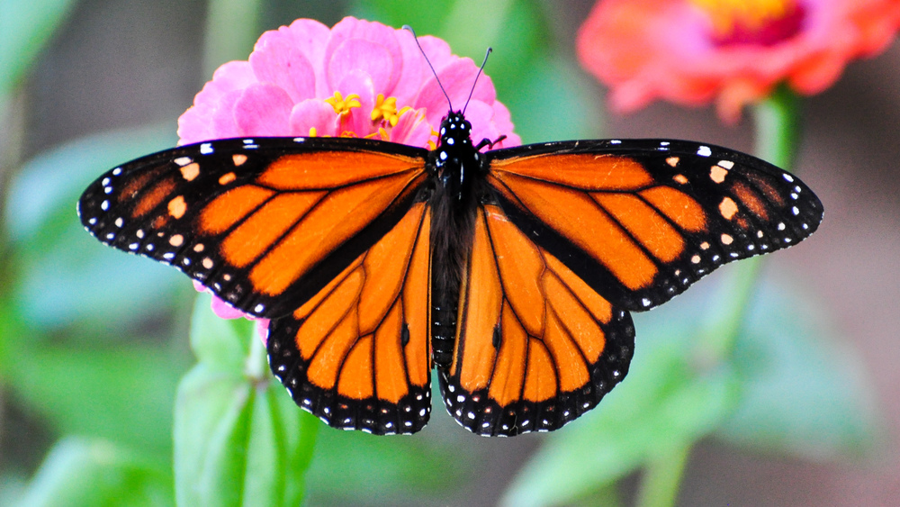 Monarch Butterfly – Peter Miller, Flickr