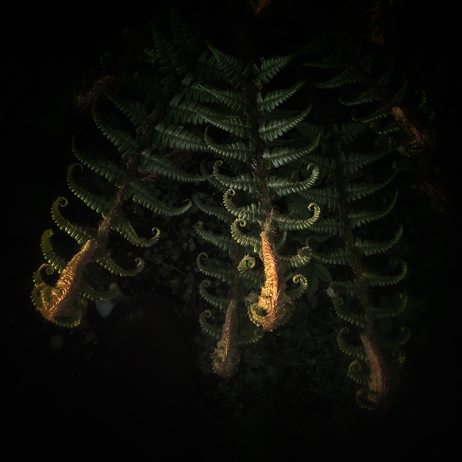 Fern in the Evening Sun