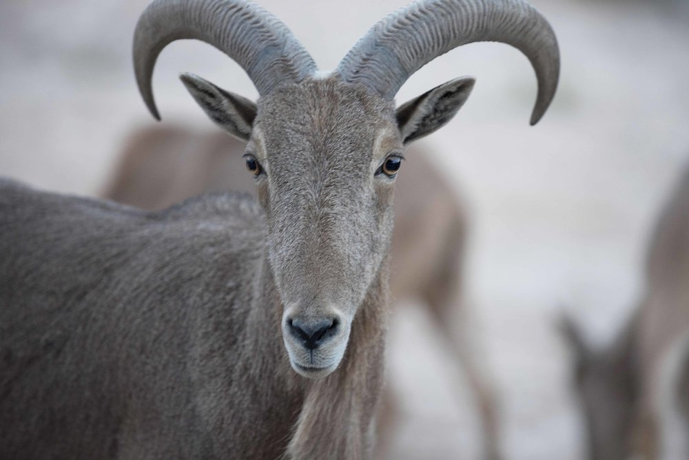 Barbary_Sheep_01.jpg