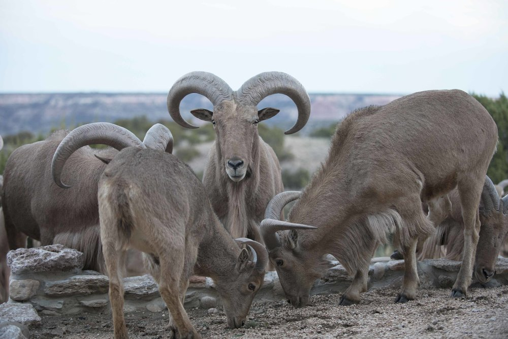 Barbary_Sheep_02.jpg