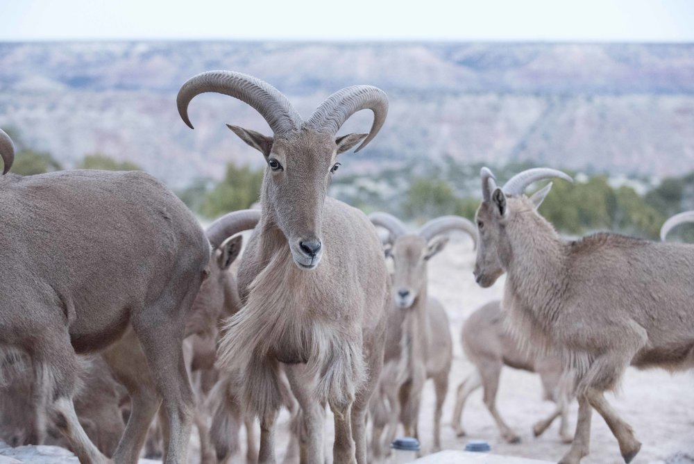 Barbary_Sheep_03.jpg