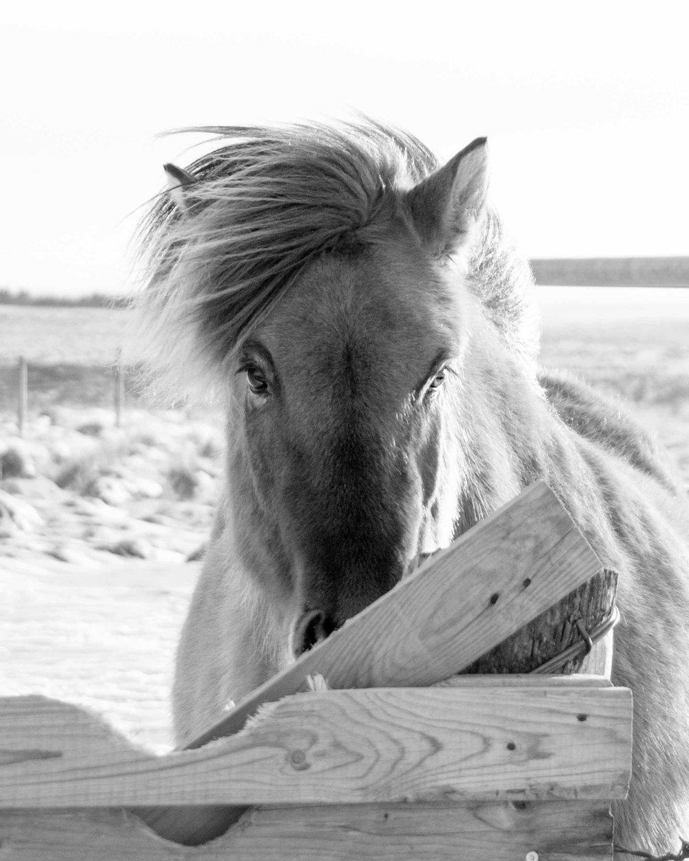 Iceland_Horses_11232017_01.jpg
