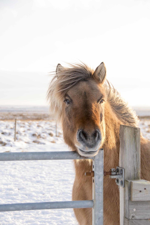Iceland_Horses_11232017_02.jpg