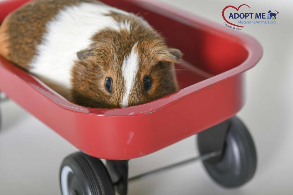 Guinea Pig in a Red Wagon
