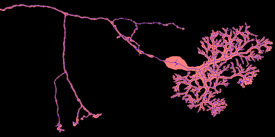 "Red shows a Z projection of a series of confocal images acquired from a dye-filled cerebellar Purkinje cell. Blue shows a Z projection of the ""skeleton"" of this neuron, calculated using the ImageSkeleton3D operation. Original filled cell data courtesy of A. Hayar, D. Pierce and K. Light."