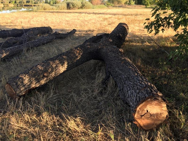 Onsite black walnut tree