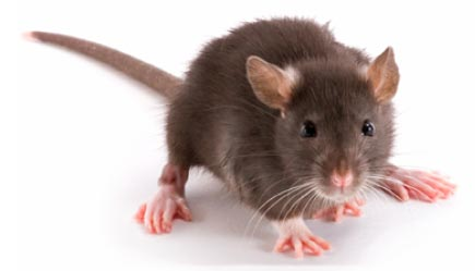 Brown rat on the ground