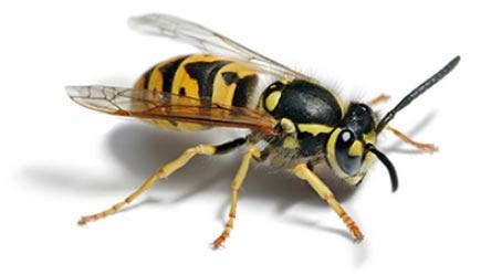 Black and yellow wasp