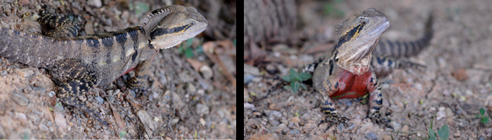 The Llewellyn Lizard an Eastern Water Dragon I. l. lesueurii