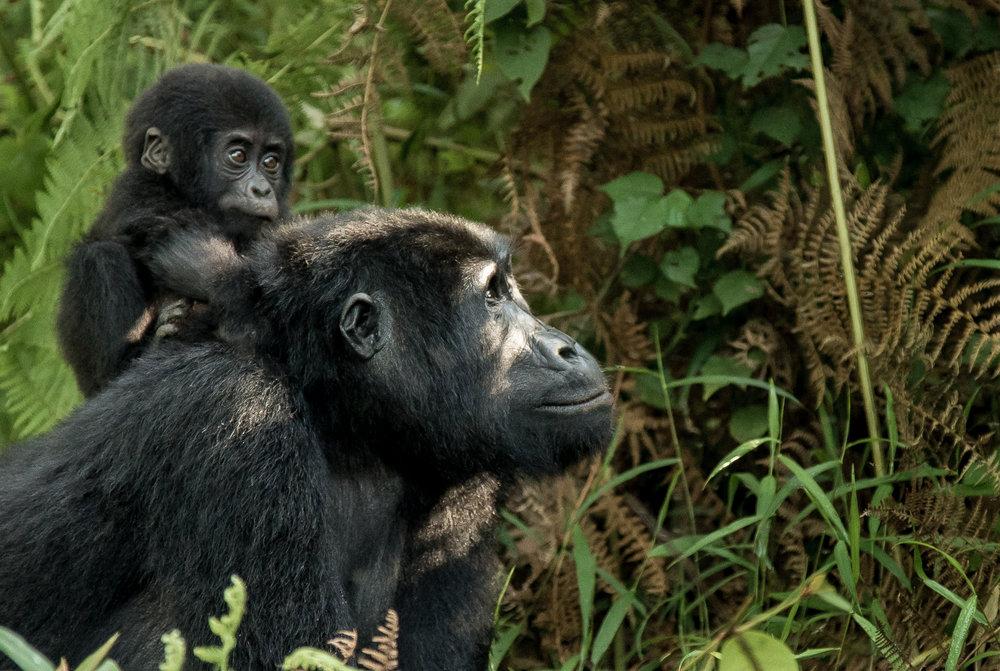 Gorilla-MotherANDChild-B.jpg