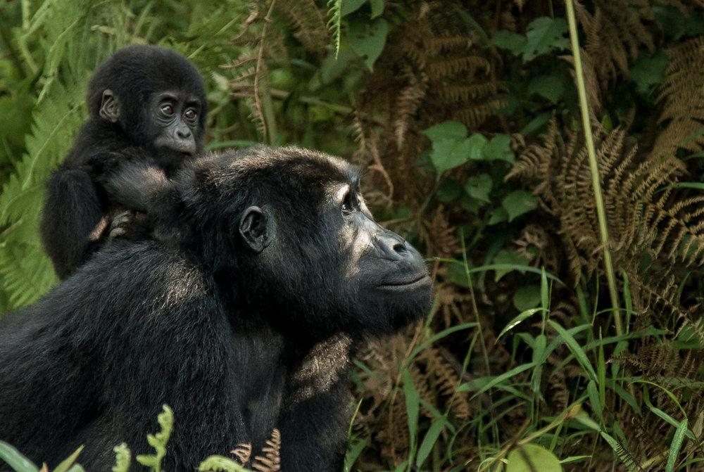 Gorilla-MotherANDChild-A.jpg