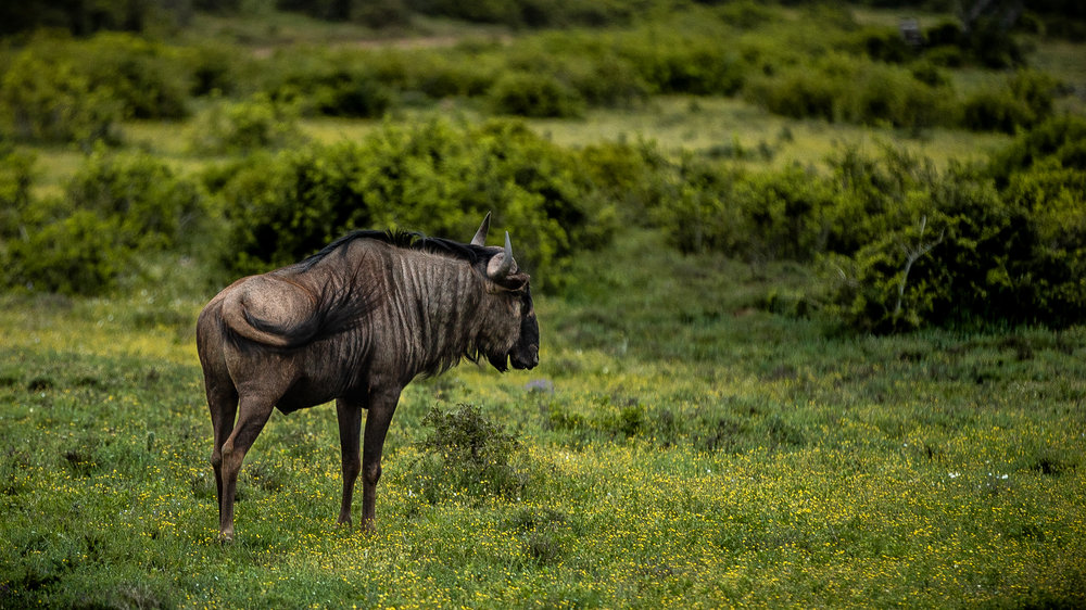 Male Wildebeest standing alone far away from the rest of the herd.