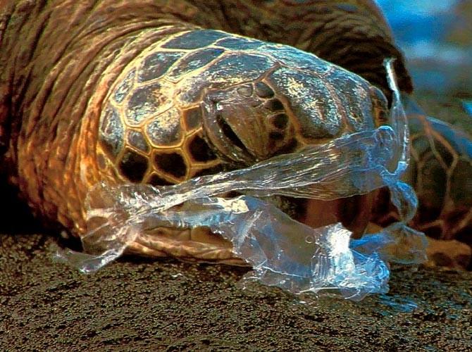 ....Plastic bags look like Jellyfish, killing turtles and other marine life that eat it mistakenly..Bọc ni long trông giống như sứa, chúng giết chết rùa biển và những sinh vật biển khác khi lỡ ăn phải..塑料袋看起來像水母,海龜和其他海洋生物會錯誤吞食而死亡....