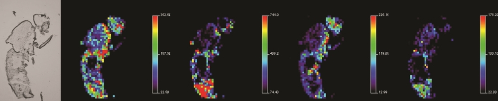 Mass spectrometry images of various lipid species throughout whole body sections of  Drosophila  (see Niehoff et al., 2014) .