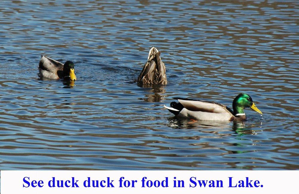 ducks in Swan Lake.jpg