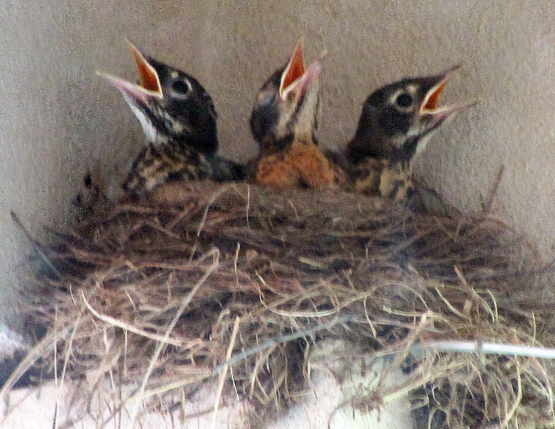 3 baby robins calling for food.jpg
