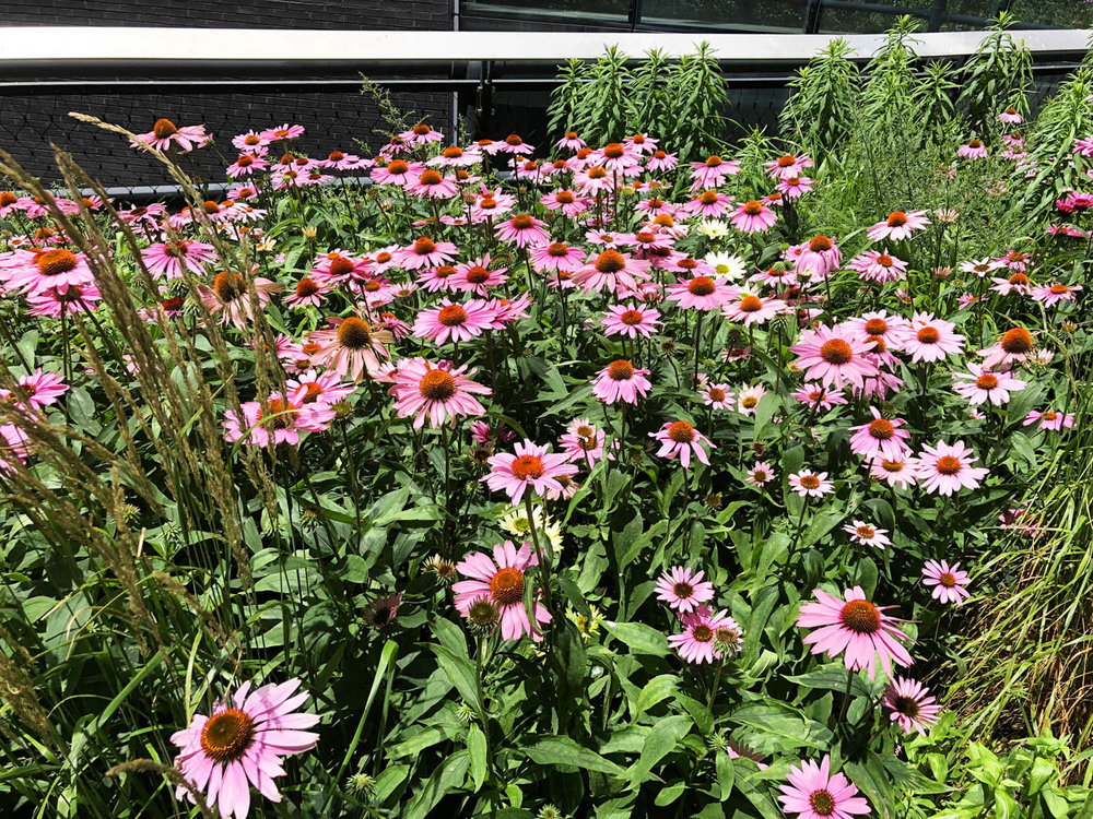 flowers along High Line.jpg