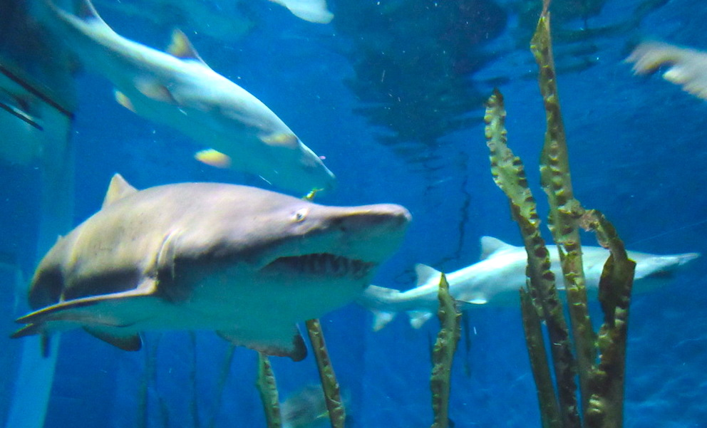 11 sharks.JPG