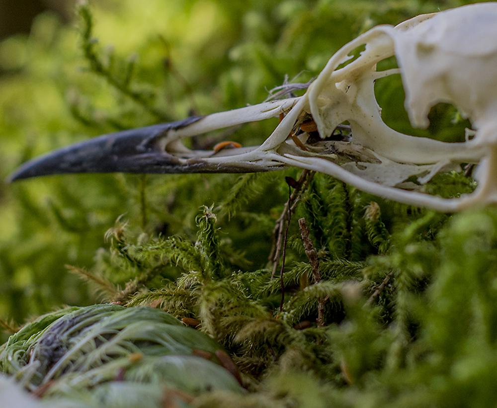 20160702_JPG_SheridanGlacier_Forest_Bird_Skull_CA_KED20160702_0034.jpg