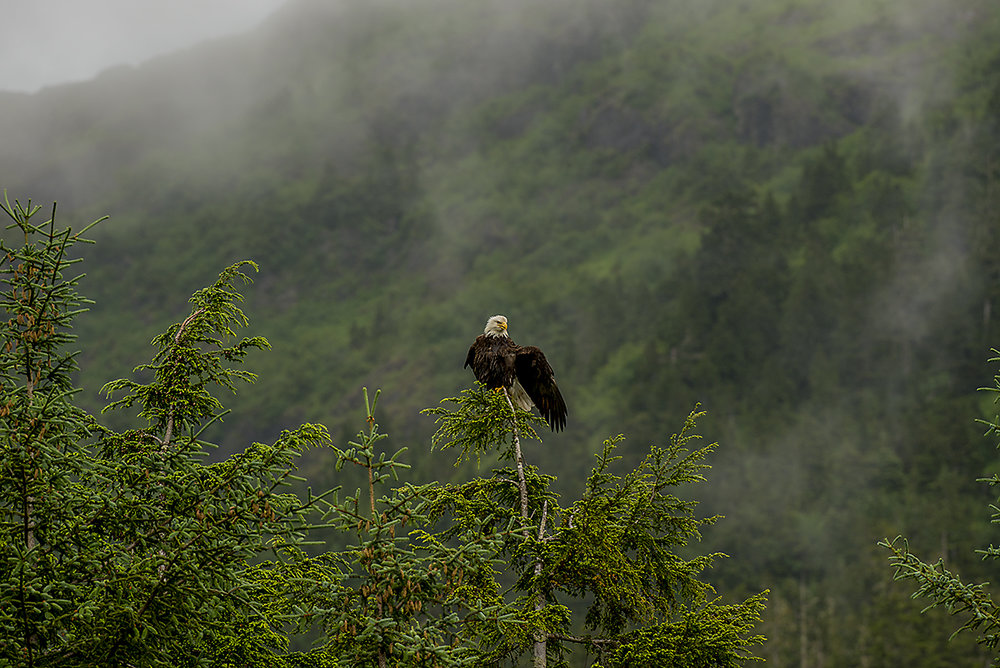 20160624_JPG_Eagles_FeedingStation_Eating_Cleaning_Fog_CA_KED20160624_0003.jpg