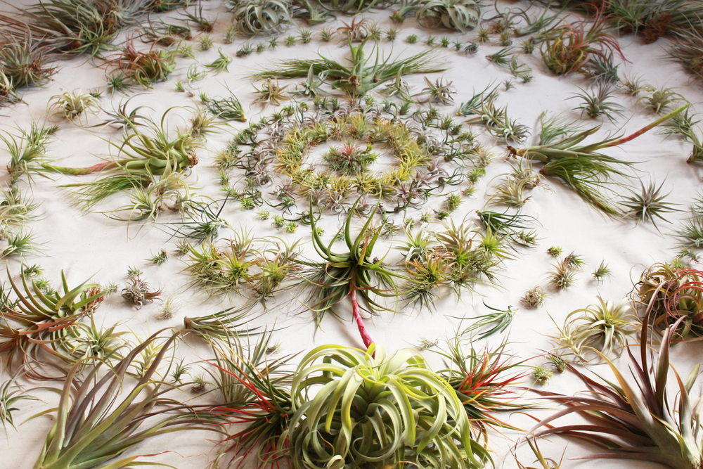 Air plant mandala full.jpg