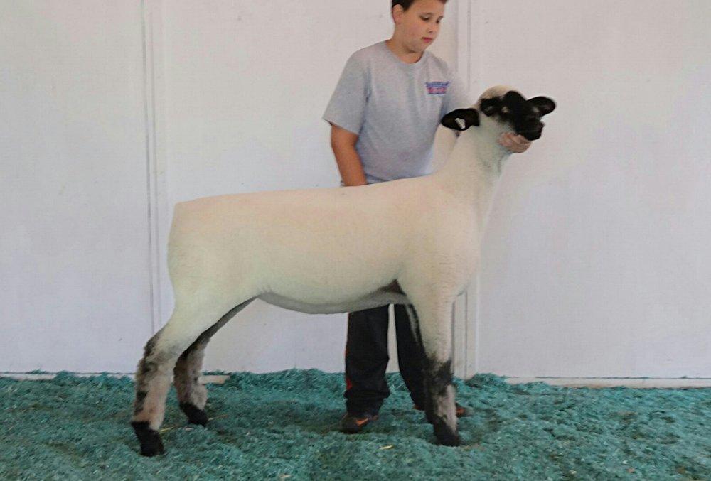 Champion Ewe - Scheller 260