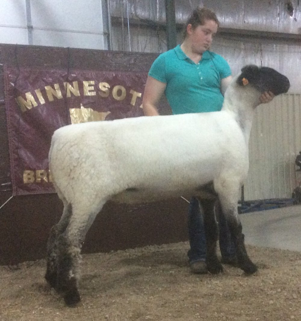 The 2016 Minnesota Bred Ewe Sale Champion was consigned by the Randy Dombek Family Family of Ivanhoe, MN and sold to Greenway Farm (Jon & Laird Mork) of Beldenville, WI for $1050.